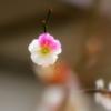 紅白しぼり梅2