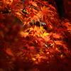 木漏れ日の紅葉