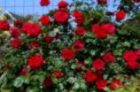 真っ赤な薔薇垣1