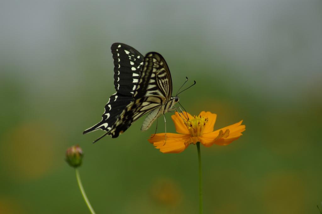 黄花コスモスとアゲハチョウ