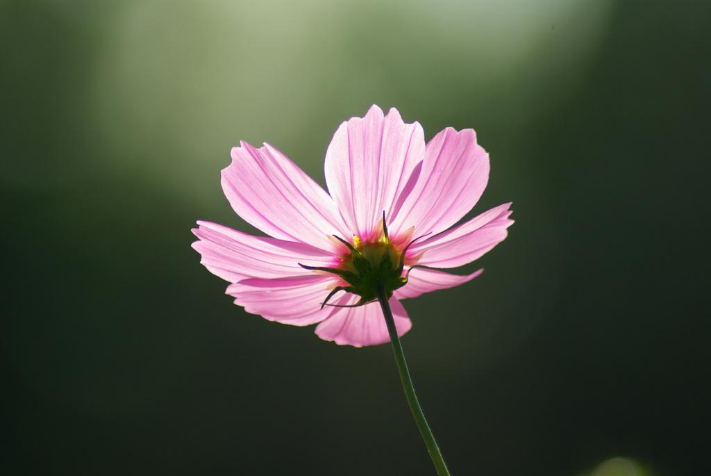 淡いピンクが透けて