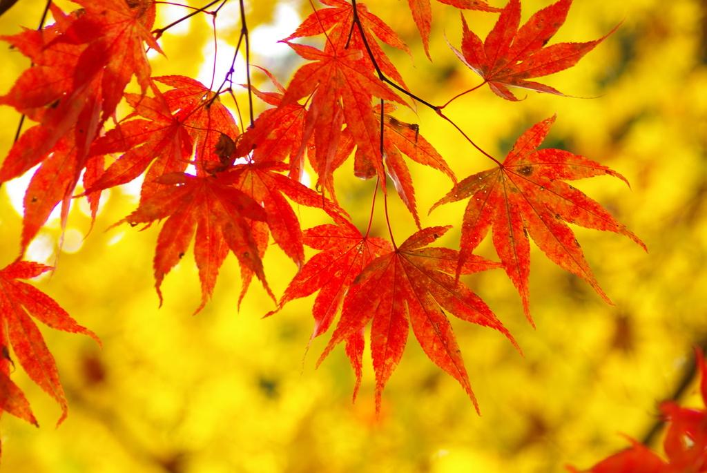 紅葉対黄葉