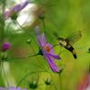 秋桜の蜜を吸う大透翅