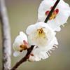 梅の白い花ビラ