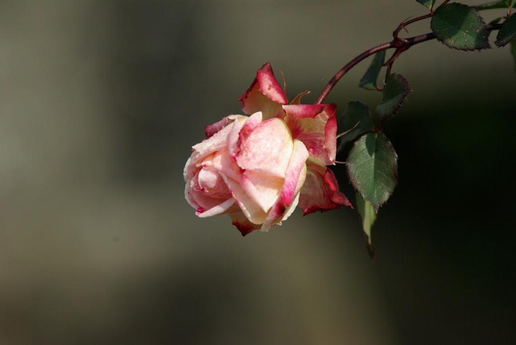 もう一つのバラ