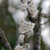 3月1日の桜