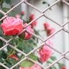 薔薇と金網