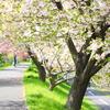 ぼたん桜の並木道