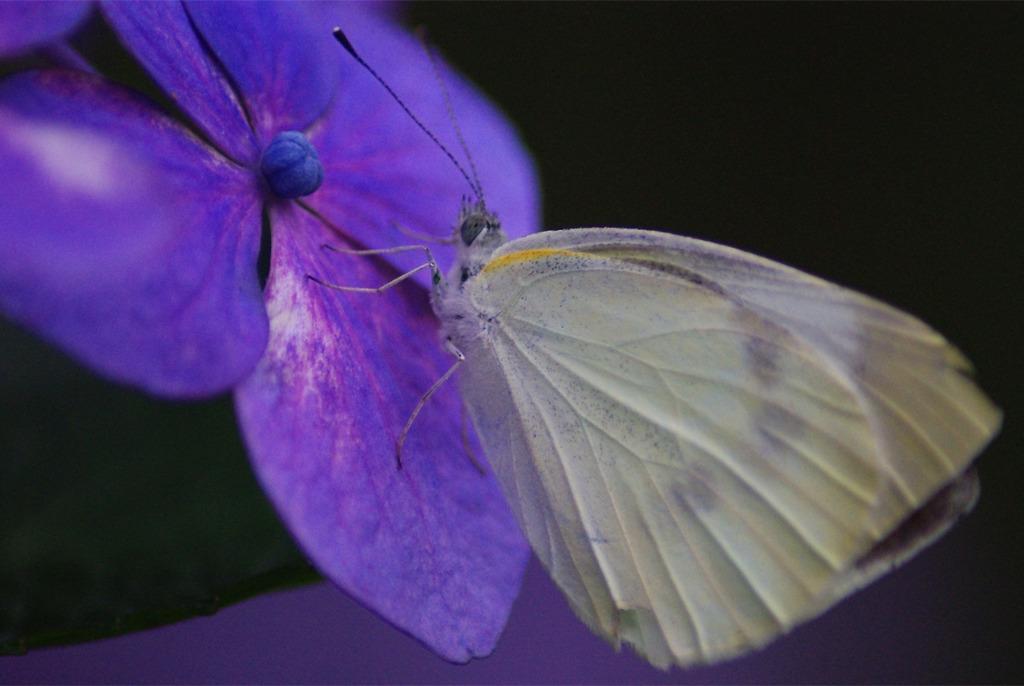 夕暮れ、紫陽花に佇む