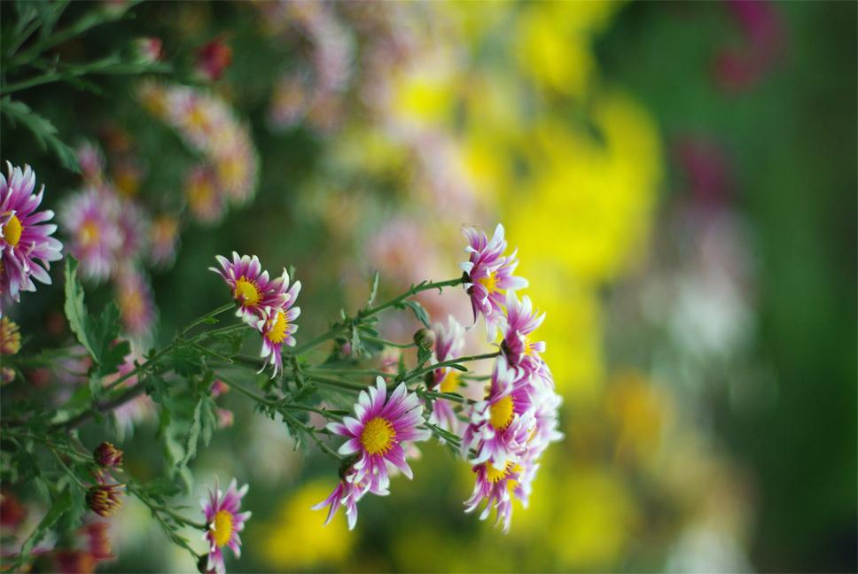裏の畑の菊の花