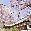 龍野城の桜