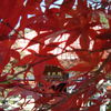 明徳寺の紅葉