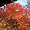秦野のみかん狩りの受付所の紅葉