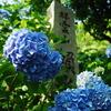 紫陽花寺の紫陽花!!パートⅡ