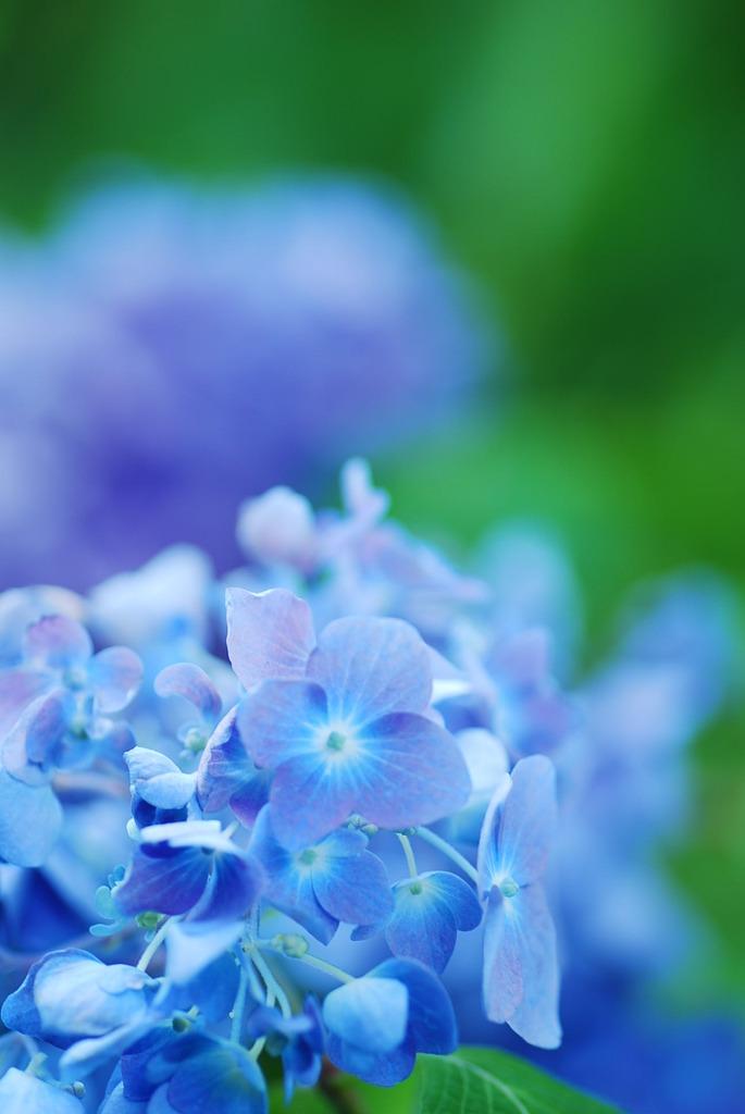 紫陽花寺の紫陽花!!パートⅢ