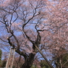 慈光寺の桜② 宇都宮