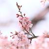 慈光寺の桜③