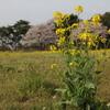 一株の菜の花