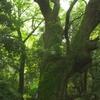 奈良豆比古神社裏のクスノキの巨木
