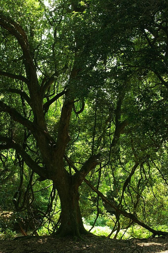 鷺原道の古巨木