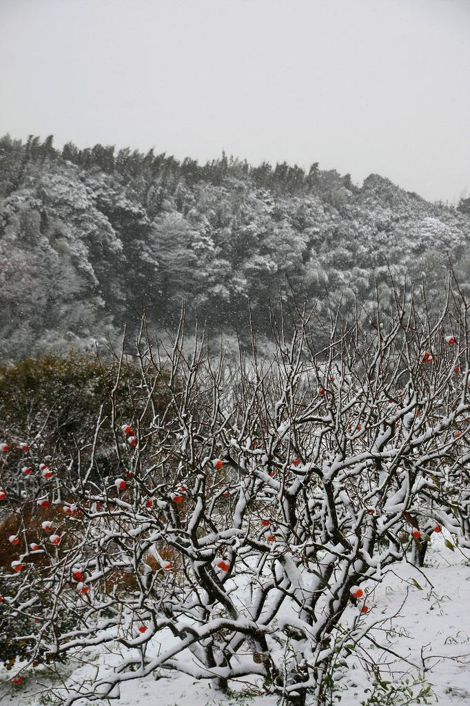 雪景色 柿の木
