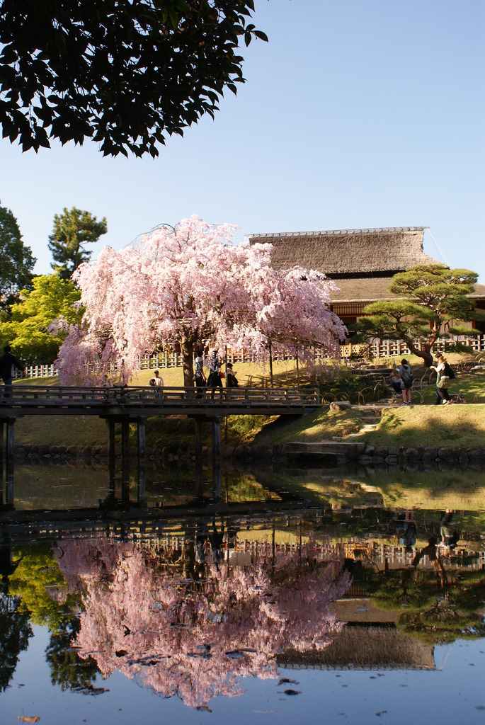 水面に浮かぶ桜