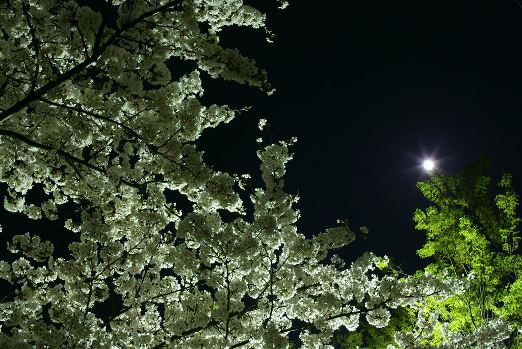 桜・緑・月