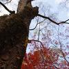 紅葉と大木