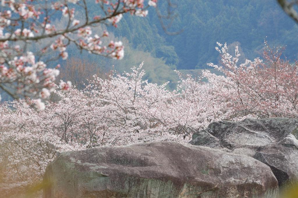 石舞台・春