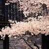 道明寺天満宮の桜
