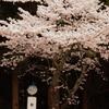 能勢妙見山の桜