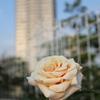 明海の白バラ