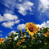 満開の向日葵たち