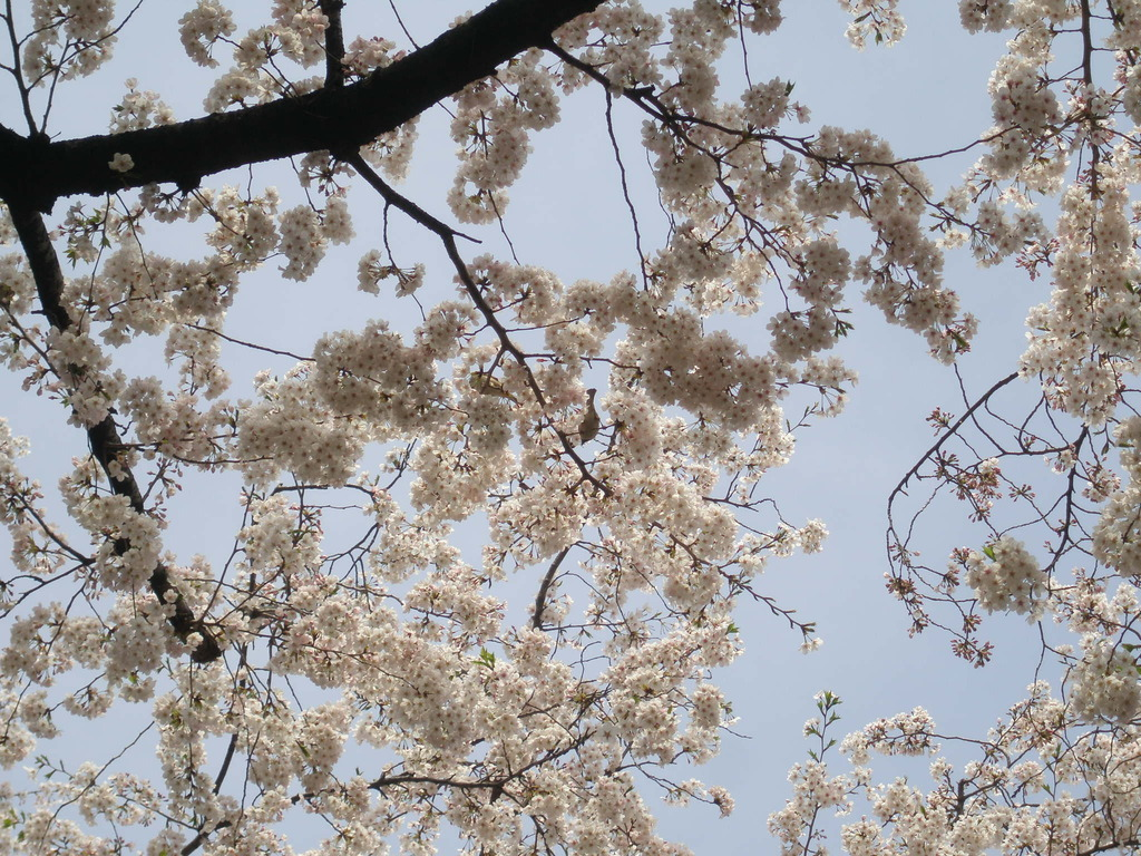 sparrow eats cherry blossom