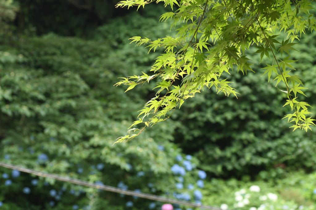 緑の紅葉と紫陽花