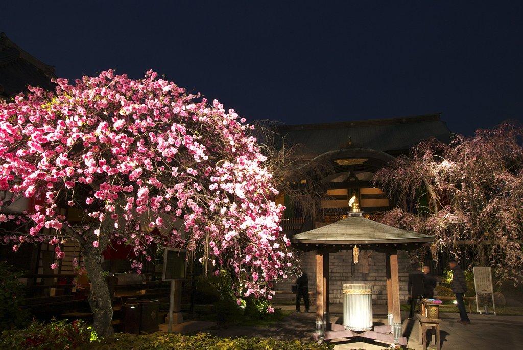 2009夜桜