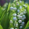 庭に咲くスズラン