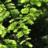 メタセコイアの新緑