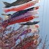 桜の上を泳ぐ