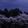 夜桜もどき
