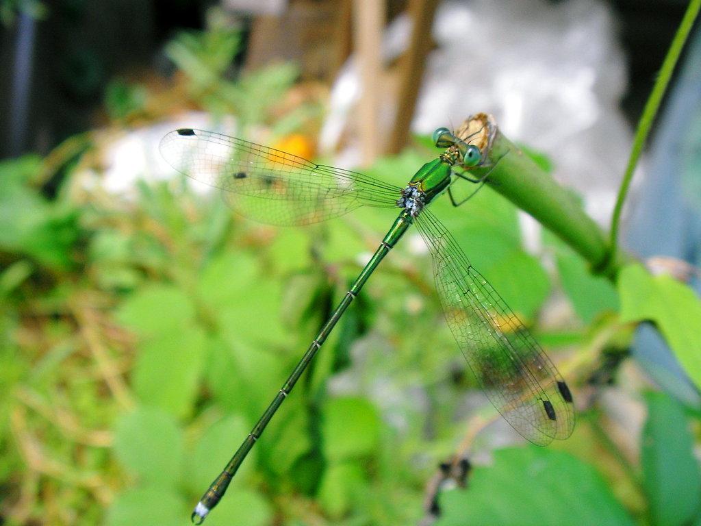 糸トンボ1