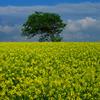菜の花畑と独立樹