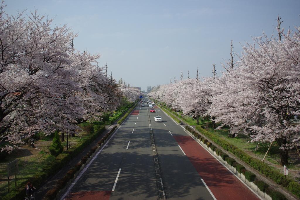 Kunitachi Univ. blvd.