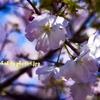 Cherry Blossom 2008 003