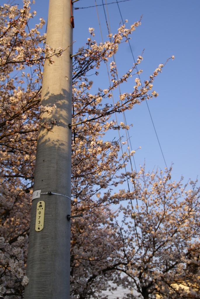 桜と電柱2