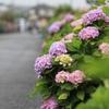 紫陽花に魅せられて
