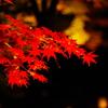 雨にぬれた紅葉