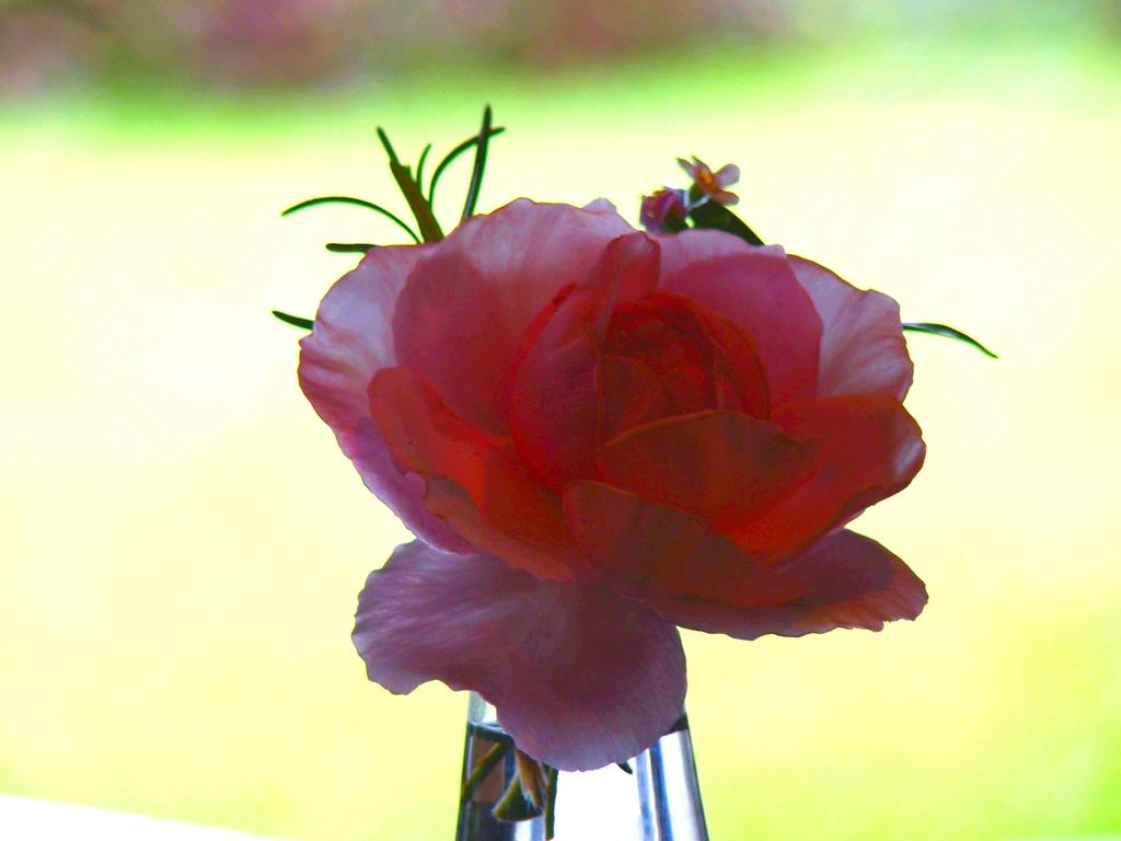 gleam Rose