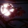 gekkano sakura
