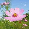 ピンクの秋桜
